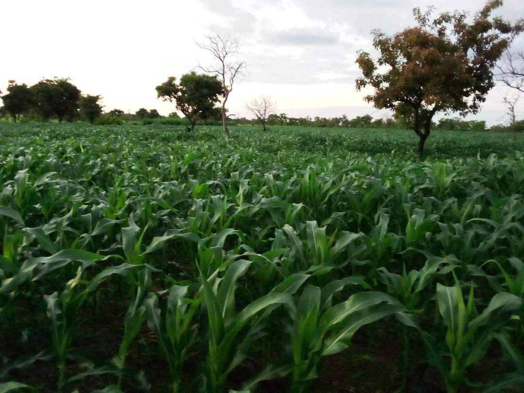 Catalysing the competitiveness of maize value chains for increased incomes
